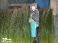 染土の付いたイグサを乾燥する