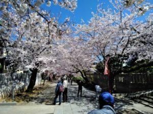 法華経寺の桜D