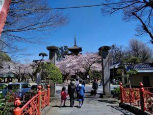法華経寺の桜C
