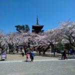 法華経寺の桜B