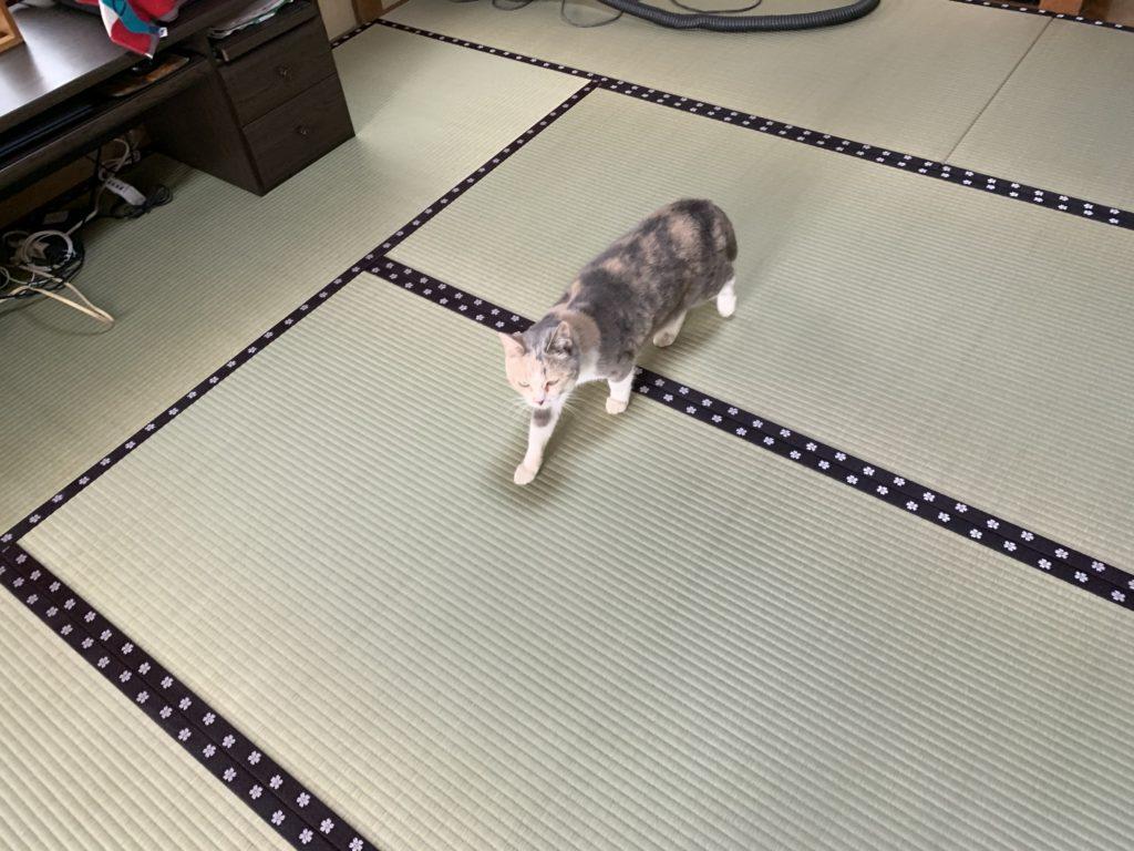 畳を歩く猫C