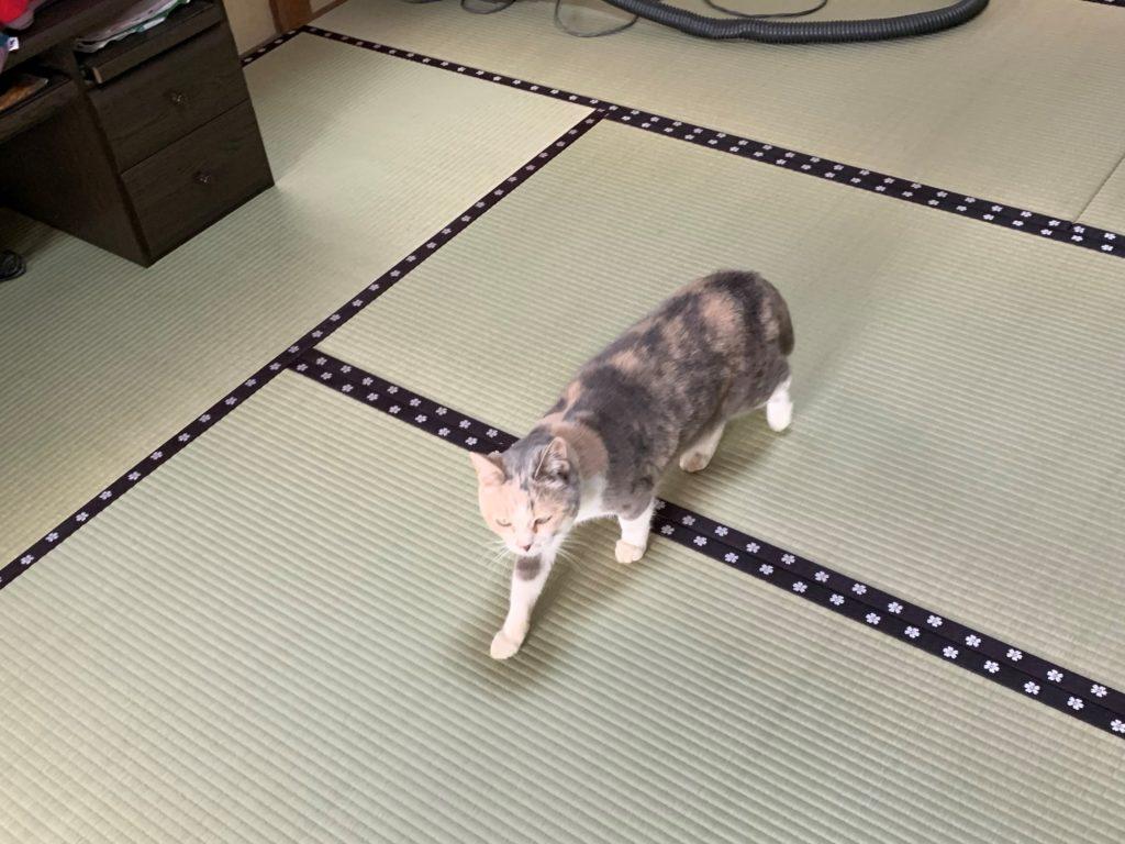 畳を歩く猫アップ